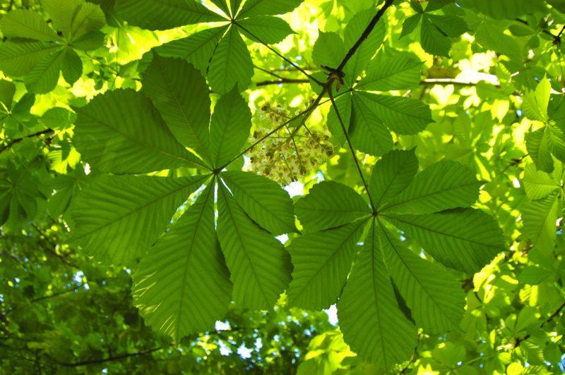Nové stromořadí kaštanů