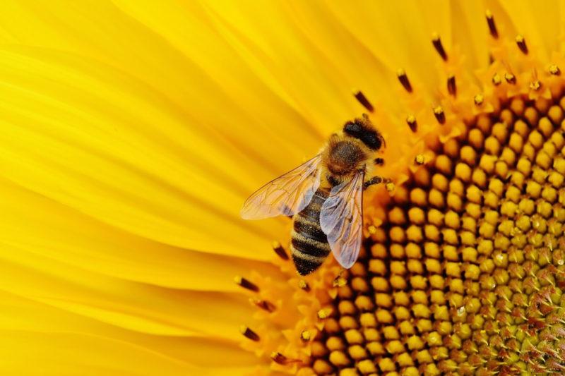 Virus deformovaných křídel včel